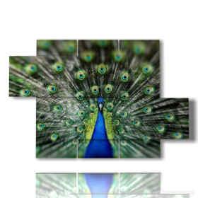 quadro pavone coda meravigliosa