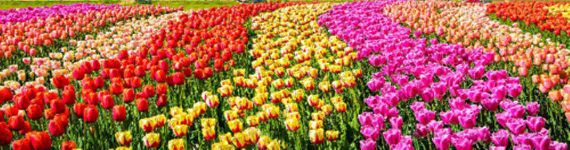 tableaux modernes avec des tulipes
